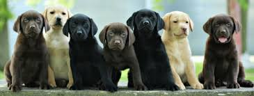 Genetics Of Labrador Coat Color Maple