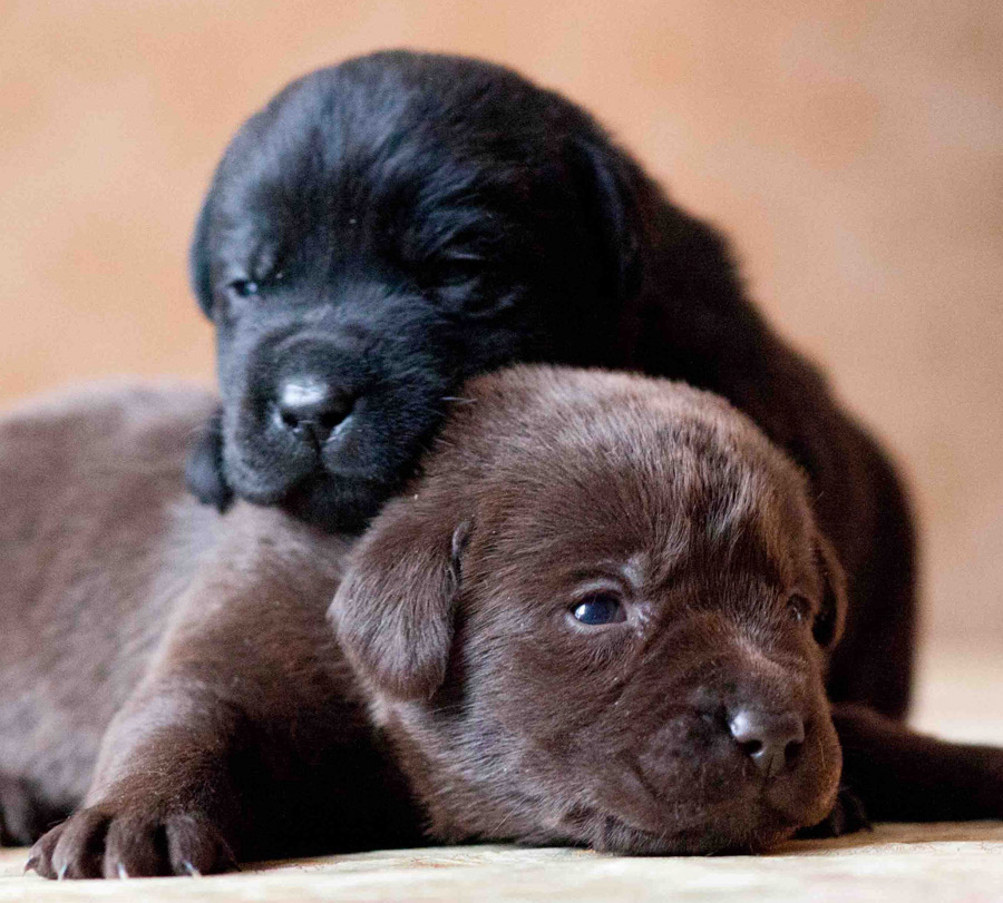 Dpd Black And Chocolate Lab Puppies Maple Leaf Vet Care Center